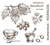 Hawthorn    Botanical Drawing....