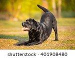 Stock photo big black dog labrador retriever adult purebred lab in spring summer green park doing dog tricks 401908480
