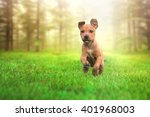 Stock photo beautiful young and happy american stafford terrier running and jumping from forest sunset lens 401968003