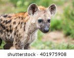 Spotted Hyena Cub Starring In...