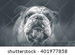 English Bulldog   Guard Dog On...
