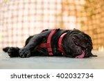 Heat Stroke Symptom Of Pug Dog...