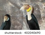 Small photo of Austen's brown hornbill, Brown hornbill (Anorrhinus austeni)