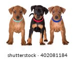 Small photo of three adorable pinscher puppies