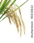 growing rice on white background | Shutterstock . vector #40210612