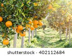 Ripe And Fresh Oranges Hanging...