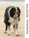 Border collie dog on beach...