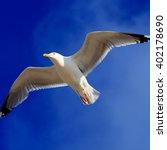 Seagull Soaring   Seagull ...
