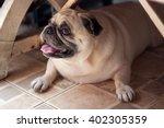Pug Dog   Happy Pug  Under Table