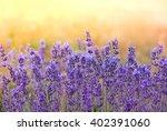 Landscape With Lavender Flower...