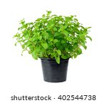 Fresh Mint With  Pot Isolated...