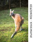 Small photo of A male Agile Wallaby standing in green grass land bush.