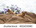 Lion Cubs On A Background Of...