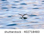 Storm Petrel And Its Reflection