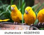 Three Golden Parakeets Standing ...