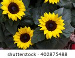 sunflowers sunflowers blooming... | Shutterstock . vector #402875488