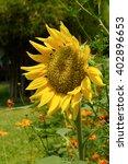 yellows sunflowers blooming | Shutterstock . vector #402896653