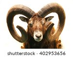 Mouflon Hunting Trophy Isolate...