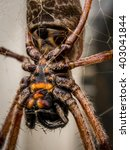Small photo of Golden orb weaver spider