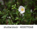 Cherokee Rose Flower  Rosa...