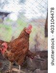 chickens in coops   Shutterstock . vector #403104478