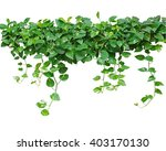 Heart Shaped Leaves Vine  Devi...