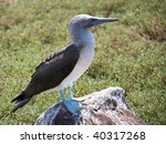 Blue Footed Booby Of The...