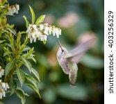 Bee Hummingbird Small Bird Nea...