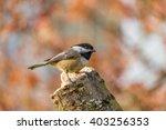 Small Bird Carolina Chickadee...