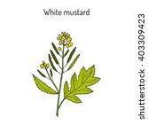white mustard  sinapis alba ....   Shutterstock .eps vector #403309423