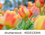 Tulip. Beautiful Bouquet Of...