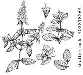 mint    botanical drawing. hand ... | Shutterstock . vector #403318264