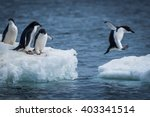 Adelie Penguin Jumping Between...