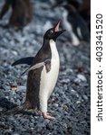 Small photo of Adelie penguin squawking on grey shingle beach