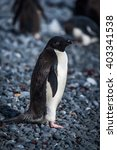 Small photo of Adelie penguin in sunshine looking at camera