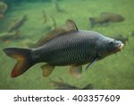 wild common carp  cyprinus... | Shutterstock . vector #403357609
