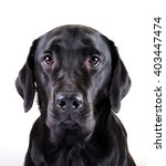 Portrait Of A Black Labrador...