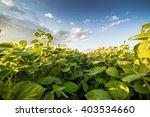 Green Ripening Soybean Field ...