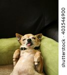 Stock photo cute chihuahua taking a nap on his back on a green microfiber pet bed 403546900