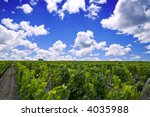 French vineyard in Bordeaux - stock photo