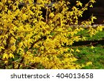 Blooming Flowers Of Forsythia....