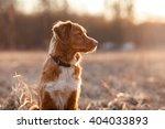 dog nova scotia duck tolling... | Shutterstock . vector #404033893