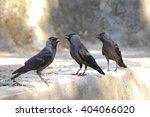 Three Western Jackdaw  Corvus...