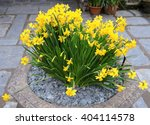 Stone Flowerpot Of Tete A Tete...