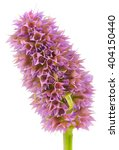 Small photo of Agastache (Anise Hyssop) Flower Head Isolated on White Background