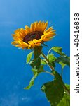 Close Up Of Sun Flower Against...