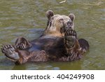 European Brown Bear  Ursus...