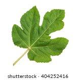 Green Big Fig Leaf Isolated On...