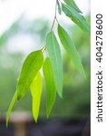 eucalyptus leaves. eucalyptus... | Shutterstock . vector #404278600