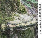 Polypore Mushroom On An Old Tree